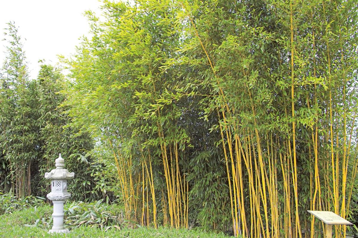 Bambus Pflanzen Und Pflegen Hornbach Schweiz
