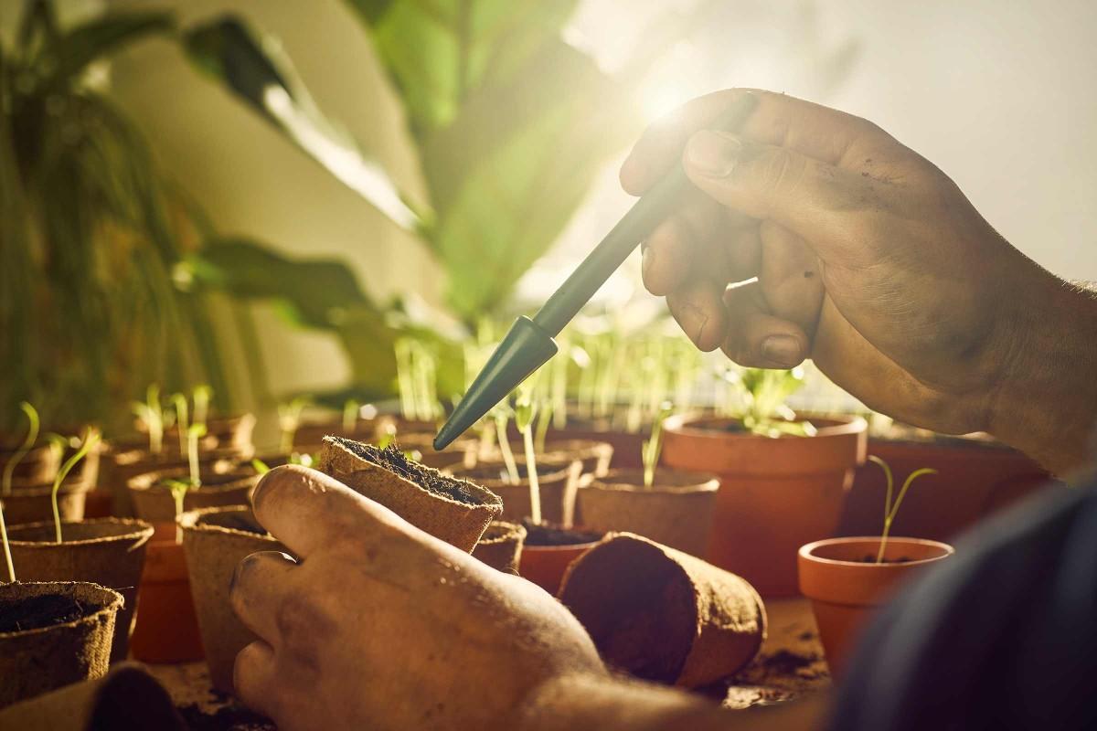 5. Repiquer les jeunes plants