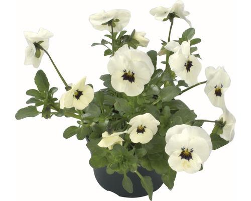 Hornveilchen, Viola cornuta 9er Topf zufällige Sortenauswahl