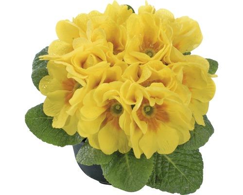 Frühlings Primel FloraSelf 9er Topf zufällige Sortenauswahl
