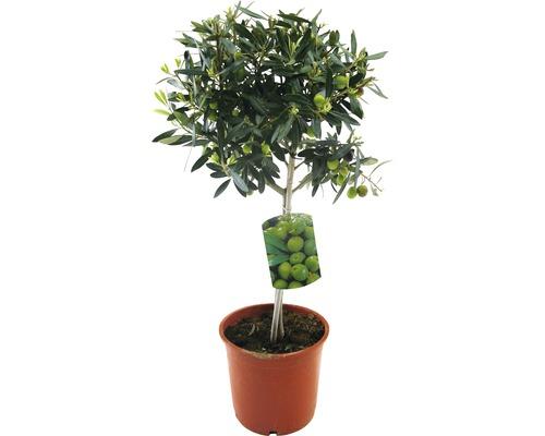 Olivenbaum FloraSelf Olea europaea H 20-40 cm Ø 20 cm Topf
