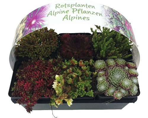 Steingartenstauden MIX FloraSelf H 2-5 cm Ø 9 Topf cm 6-er Pack
