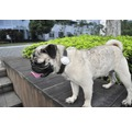 Aktivitätstracker Smart Pet PETKIT P2 für Haustiere