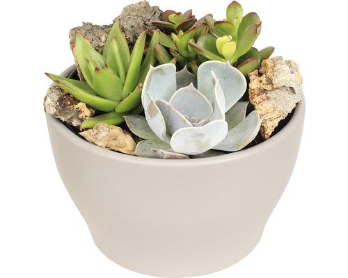 Arrangement de plantes succulentes FloraSelf H 11-16 cm pot gris pierre Ø 15 cm