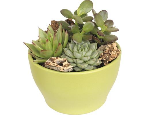 Arrangement de plantes succulentes FloraSelf H 11-16 cm pot vert Ø 15 cm