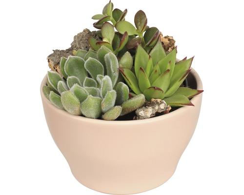 Arrangement de plantes succulentes FloraSelf H 11-16 cm pot vieux rose Ø 15 cm