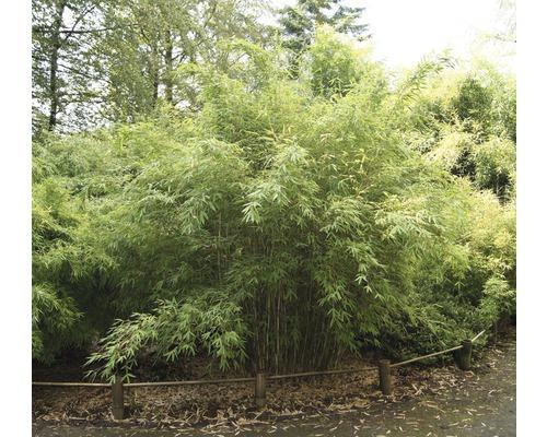 Robuster Gartenbambus Standing Stone 40-60 cm
