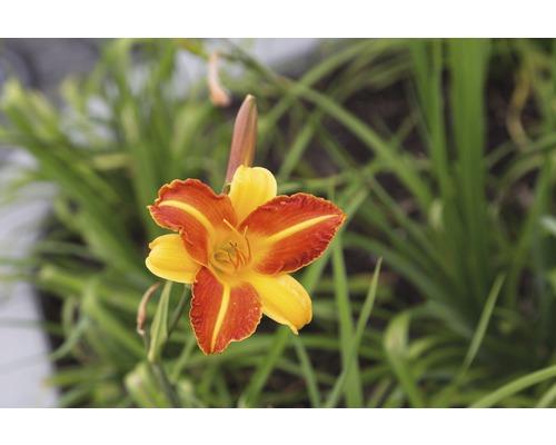 Taglilie Hemerocallis-Cultivars 'Franz Hals' H 5-90 cm Co 0,5 L