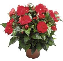 Edelliesschen FloraSelf® Impartiens Neu Guinea Gruppe Ø 13 cm zufällige Sortenauswahl