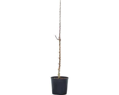 Säulenapfel Rondo (S) 100-160 cm rot