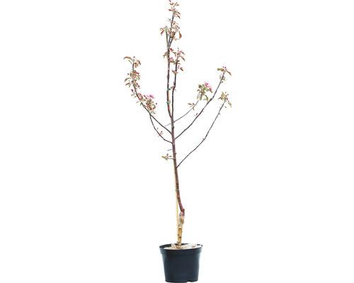 Apfelbaum Baya Marisa 150-180 cm