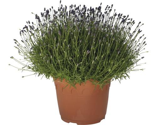 lavendel floraself hidcote blue 15-25 cm kaufen bei
